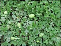www.floristic.ru - Флористика. Декоративные плоды