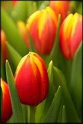 www.floristic.ru - Флористика. Тюльпаны к 8 марта оптом