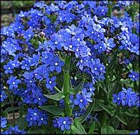 Нажмите на изображение для увеличения Название: anchusa_capensis_blue.jpg Просмотров: 373 Размер:30.4 Кб ID:9234