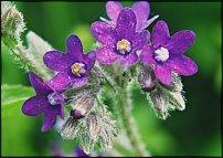 Нажмите на изображение для увеличения Название: anchusa_officinalis.jpg Просмотров: 228 Размер:76.9 Кб ID:9236