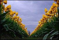www.floristic.ru - Флористика. Тюльпаны.