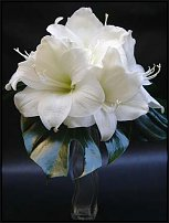 www.floristic.ru - Флористика. Hippeástrum - Гиппеаструм
