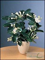 www.floristic.ru - Флористика. стефанотис