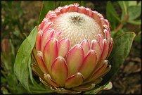 www.floristic.ru - Флористика. ПРотея(Protea)