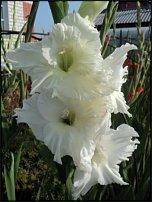 www.floristic.ru - Флористика. гладиолус