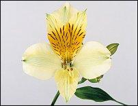 www.floristic.ru - Флористика. ALSTROEMERIA (Альстромерия)