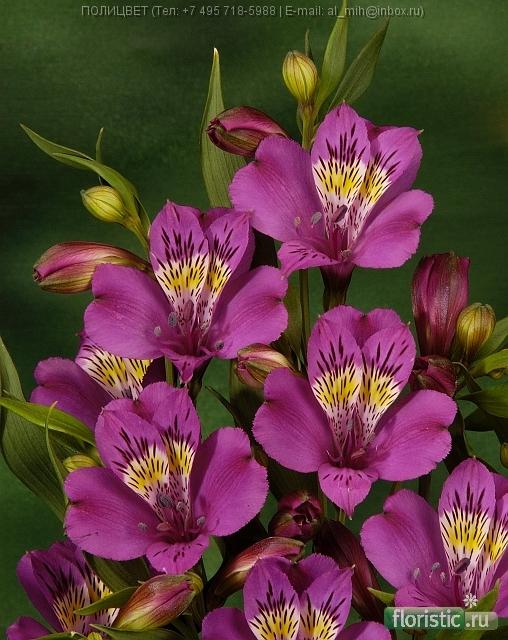 Альстромерия фиолетовая фото