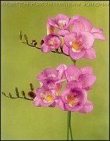 www.floristic.ru - Флористика. Freesia - Фрезия