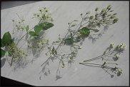 www.floristic.ru - Флористика. Помогите определить растение