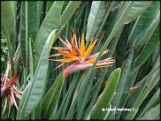 www.floristic.ru - Флористика. Стрелитция(Strelitzia)