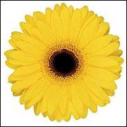 www.floristic.ru - Флористика. Gerbera - Гербера