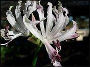 www.floristic.ru - Флористика. Нерине (Nerine)