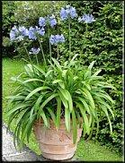 www.floristic.ru - Флористика. Агапантус (лат. Agapanthus)