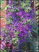 www.floristic.ru - Флористика. Клематис (Clematis)