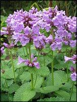 www.floristic.ru - Флористика. СТАХИС (STACHYS) или ЧИСТЕЦ