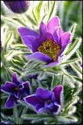 www.floristic.ru - Флористика. Сон-трава.Прострел.