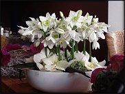 www.floristic.ru - Флористика. Эухарис(Eucharis) - амазонская лилия.