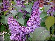 www.floristic.ru - Флористика. Сире́нь (Syrínga)