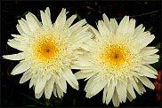www.floristic.ru - Флористика. Маленькие солнышки - РОМАШКИ