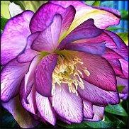 www.floristic.ru - Флористика. Helleborus  - морозник