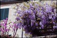 www.floristic.ru - Флористика. Глициния