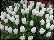 www.floristic.ru - Флористика. Тюльпаны к Восьмому марта. Опт