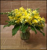 www.floristic.ru - Флористика. Льви́ный зев(Antirrhínum)