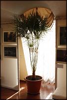 www.floristic.ru - Флористика. Продам 3 пальмы