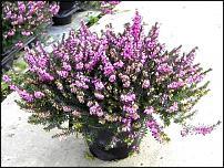 www.floristic.ru - Флористика. вереск