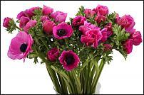 www.floristic.ru - Флористика. Анемон, Ветреница