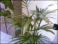 www.floristic.ru - Флористика. Пальма - ховея