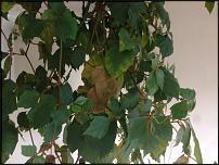 www.floristic.ru - Флористика. Роициссус закапризничал..