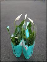 www.floristic.ru - Флористика. Продам спатифилумы дешевле опта!