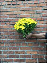 www.floristic.ru - Флористика. Продам петунью, хризантему в горшках
