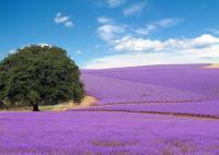 Продажа лаванды. Свежая, сухоцвет. Прованс, Голландия,Крым.